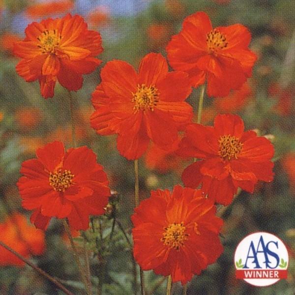花の種(営利用)コスモス 矮性種 ディアボロ 1l タキイ種苗