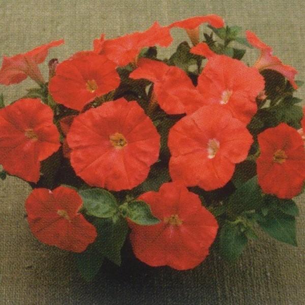 花の種(営利用)ペチュニア F1ディーバ スカーレット 1000粒 ペレット種子 タキイ種苗(メール便発送)