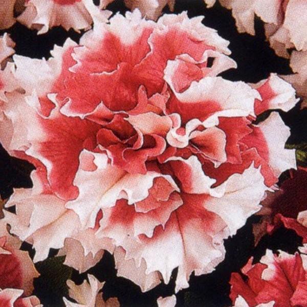 花の種(営利用)ペチュニア 八重咲き種 F1レッドピルエット 1000粒 タキイ種苗(メール便発送)