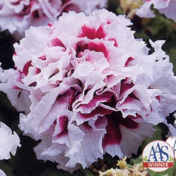 花の種(営利用)ペチュニア 八重咲き種 F1パープルピルエット 1000粒 タキイ種苗(メール便発送)
