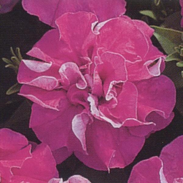 花の種(営利用)ペチュニア 八重咲き種 F1デュオ ラベンダー 1000粒 タキイ種苗(メール便発送)