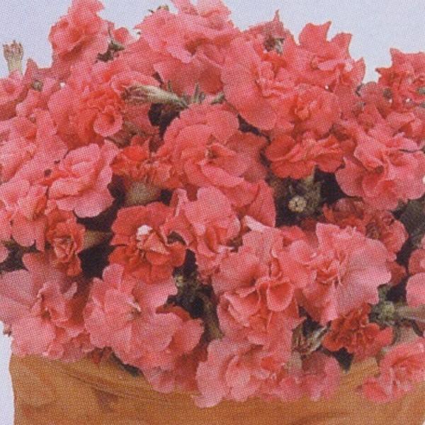 花の種(営利用)ペチュニア 八重咲き種 F1デュオ サティンピンク 1000粒 タキイ種苗(メール便発送)