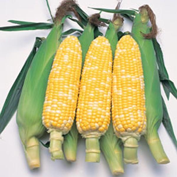 野菜の種/種子 カクテル84EX・とうもろこし トウモロコシ 2000粒(大袋)タキイ種苗【12月下旬頃発送】