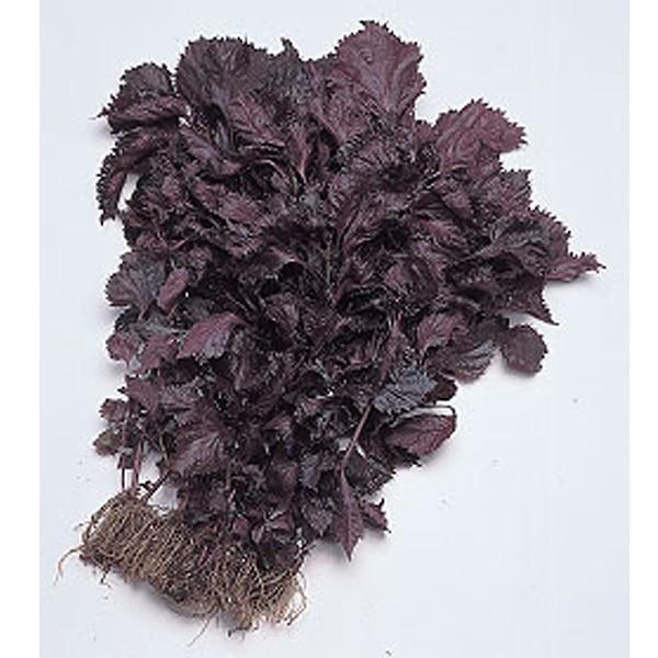 野菜の種/種子 赤ちりめんシソ・しそ 1dl(メール便発送)タキイ種苗