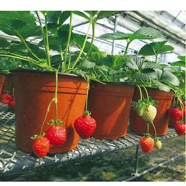 果物の苗 四季なりイチゴ らくなりイチゴ苗 いちご苗 イチゴ苗 4ポットセット|vg-harada|02