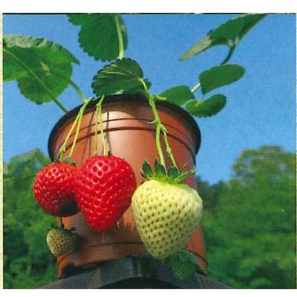 果物の苗 四季なりイチゴ らくなりイチゴ苗 いちご苗 イチゴ苗 4ポットセット|vg-harada|03