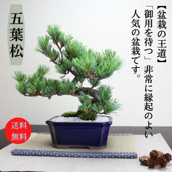 小品盆栽 四国五葉松 祝い ギフト gift 誕生日祝 開店祝 御祝 御結婚祝い プレゼントにも|wabi-sabi
