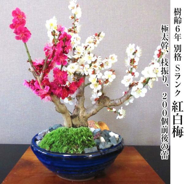 盆栽 梅 紅白梅 盆栽 室内 初心者 おしゃれ盆栽 癒し 植物 フラワーギフト 誕生日 ギフト|wagokorobonsai