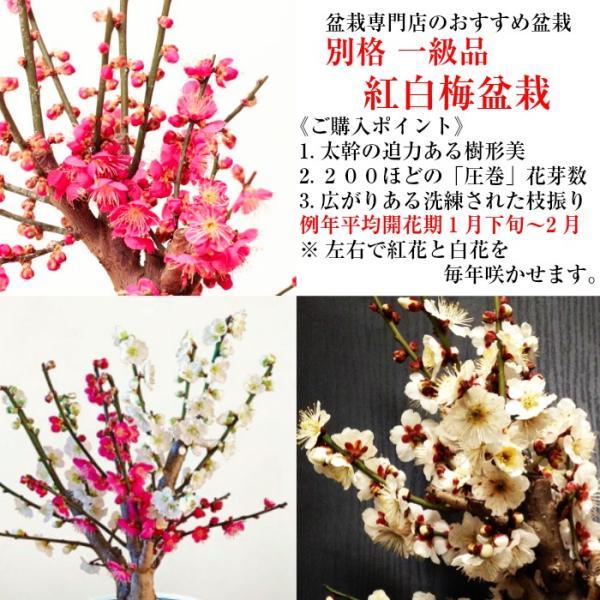 盆栽 梅 紅白梅 盆栽 室内 初心者 おしゃれ盆栽 癒し 植物 フラワーギフト 誕生日 ギフト|wagokorobonsai|02