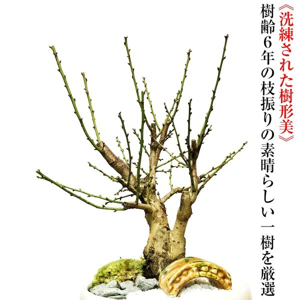 盆栽 梅 紅白梅 盆栽 室内 初心者 おしゃれ盆栽 癒し 植物 フラワーギフト 誕生日 ギフト|wagokorobonsai|04