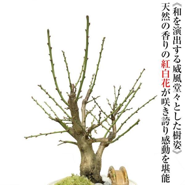 盆栽 梅 紅白梅 盆栽 室内 初心者 おしゃれ盆栽 癒し 植物 フラワーギフト 誕生日 ギフト|wagokorobonsai|05