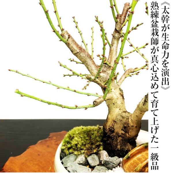 盆栽 梅 紅白梅 盆栽 室内 初心者 おしゃれ盆栽 癒し 植物 フラワーギフト 誕生日 ギフト|wagokorobonsai|06