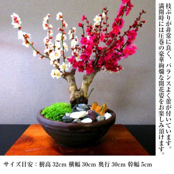 盆栽 梅 紅白梅 盆栽 室内 初心者 おしゃれ盆栽 癒し 植物 フラワーギフト 誕生日 ギフト|wagokorobonsai|09