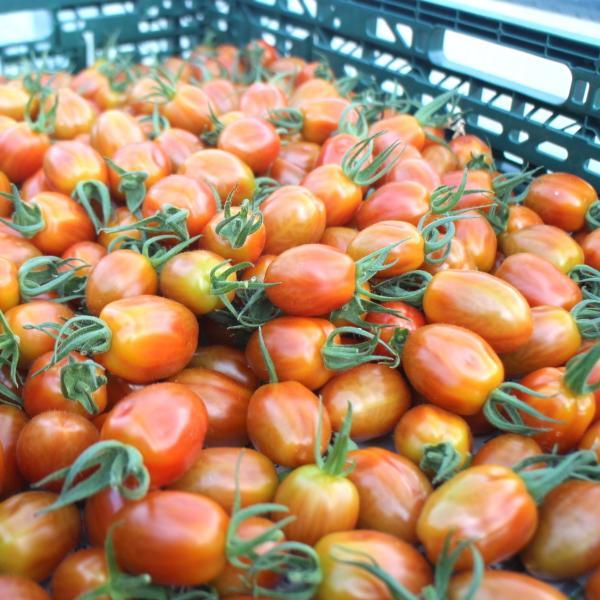 ミニトマト 贈答 フラガール(ミニトマト 1kg箱) ワンダーファーム|wonderfarm|03