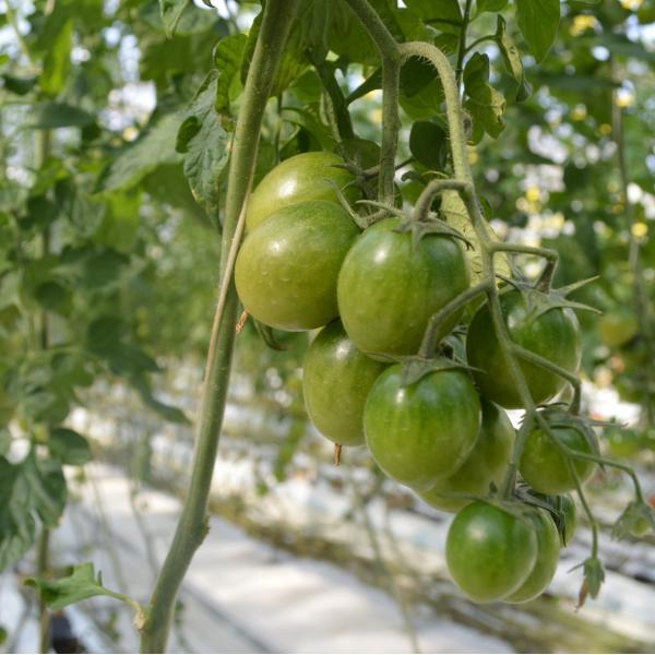 ミニトマト 贈答 みどりちゃん 1kg箱 ワンダーファーム 産地直送 お取り寄せ野菜|wonderfarm|02