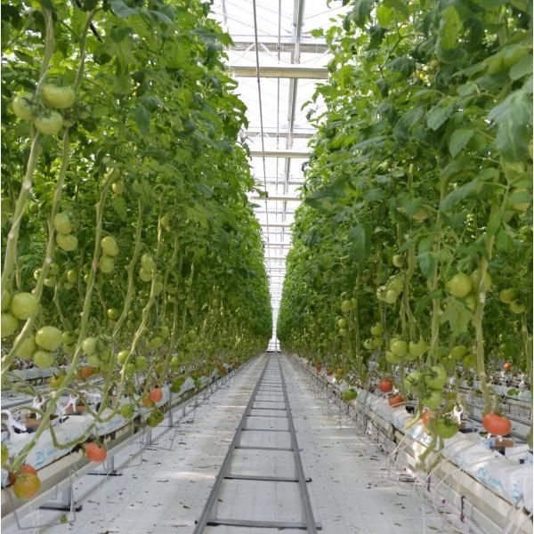 ミニトマト 贈答 ミニトマトミックス1kg詰め(トマトの宝石箱) お取り寄せ野菜 ワンダーファーム|wonderfarm|04