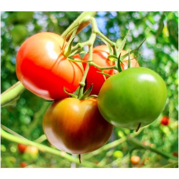 ギフト トマト 大玉トマト1.5kg箱(サンシャイントマト) お取り寄せ野菜 ワンダーファーム|wonderfarm|03