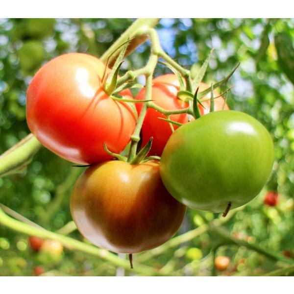 ギフト トマト 大玉トマト4kg箱(サンシャイントマト) お取り寄せ野菜 ワンダーファーム|wonderfarm|04