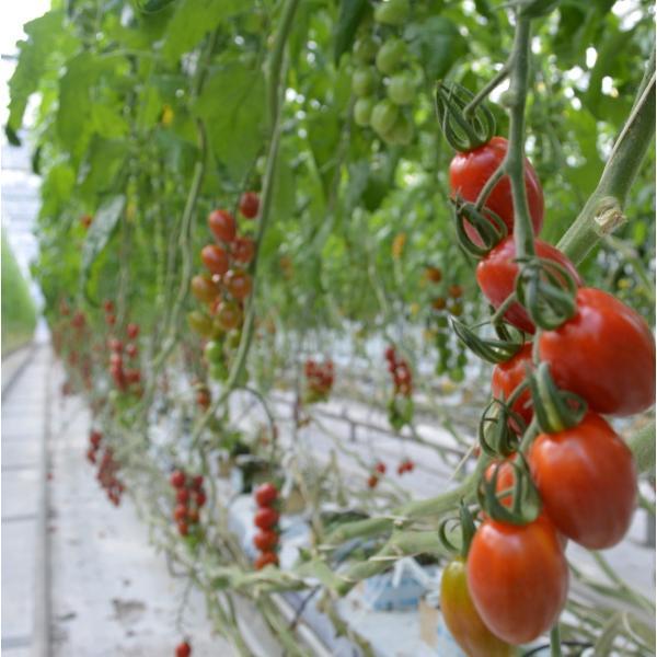 定期便 6ヶ月コース フラガールミニトマト1kg箱