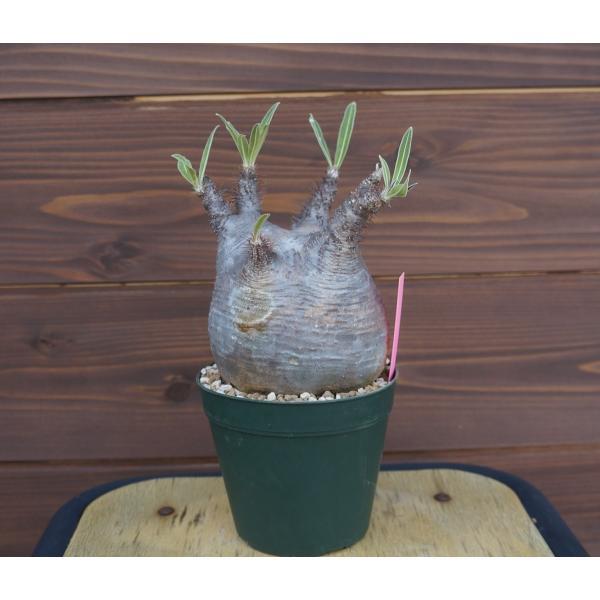 Pachypodium rosulatum var. gracilius パキポディウム グラキリス  wonderpurants