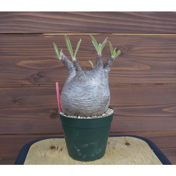 Pachypodium rosulatum var. gracilius パキポディウム グラキリス  wonderpurants 02