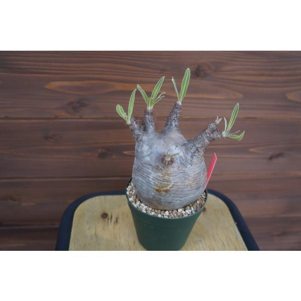 Pachypodium rosulatum var. gracilius パキポディウム グラキリス  wonderpurants 03