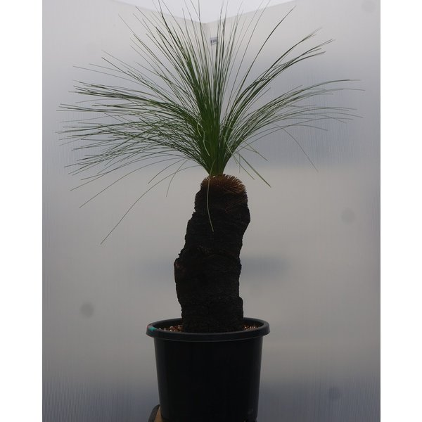 xanthorrhoea johnsonii クサントロエア・ジョンソニー 45cm|wonderpurants