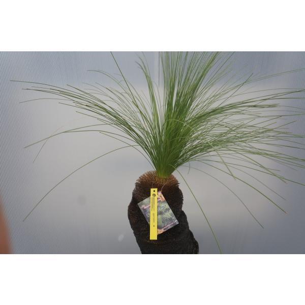 xanthorrhoea johnsonii クサントロエア・ジョンソニー 45cm|wonderpurants|04