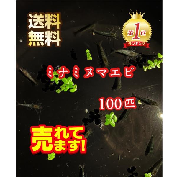 |【送料無料】ミナミヌマエビ100匹+10匹 メダカのお供に
