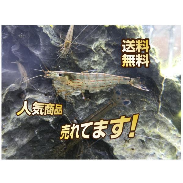 |【送料無料】ヤマトヌマエビ30匹+3匹おまけつき 【コケ取りエビ】