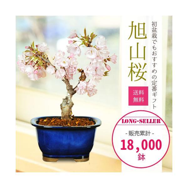 桜盆栽でお花見しませんか?