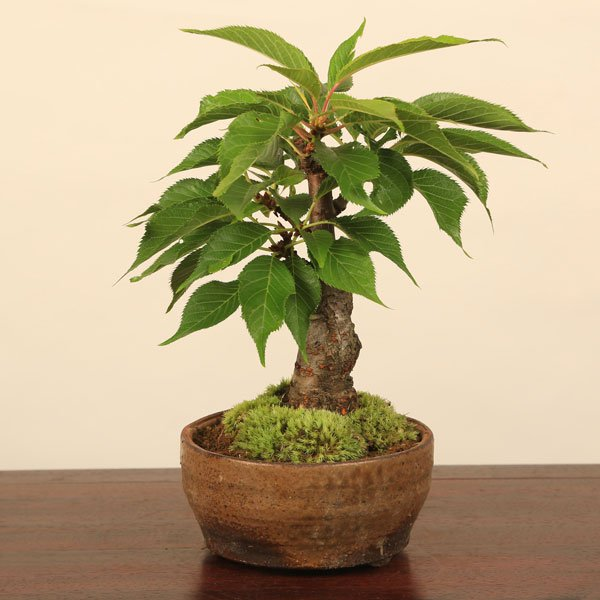 ミニ盆栽:一才桜盆栽(信楽焼小鉢)*2018年春開花|y-bonsai