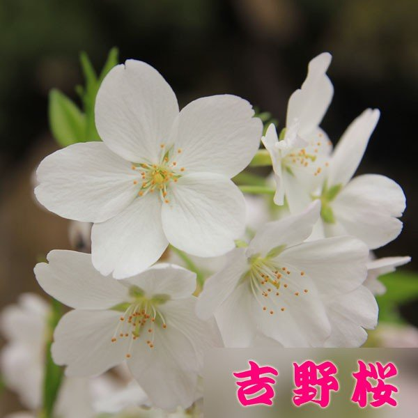 桜盆栽:特選吉野桜(大)(よしのさくら)(染井吉野)*(2020年 春 開花予定)|y-bonsai|02