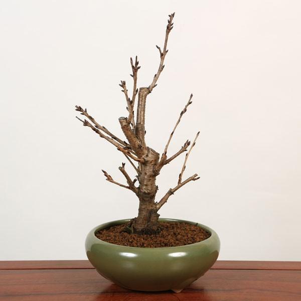 桜盆栽:特選吉野桜(大)(よしのさくら)(染井吉野)*(2020年 春 開花予定)|y-bonsai|03