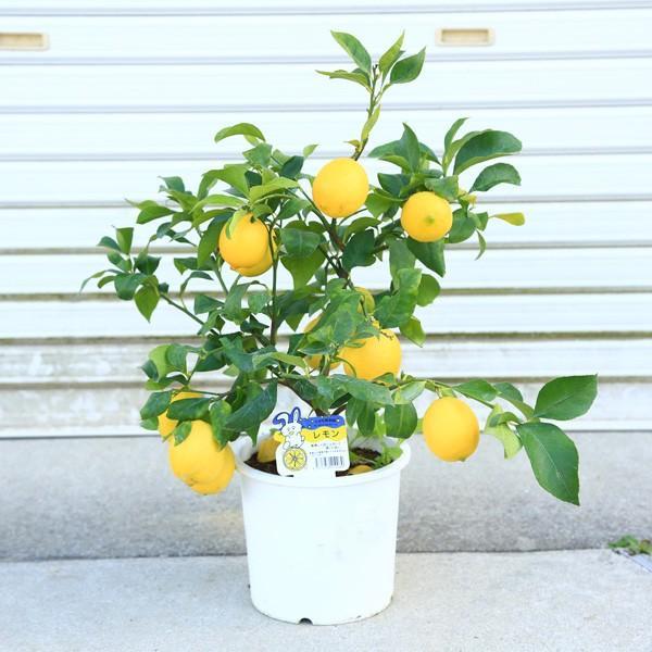実がいっぱい♪庭木・植木・苗木:レモン(れもん)檸檬 果樹 特良品 佐川急便 収穫 柑橘 実物 鉢植え