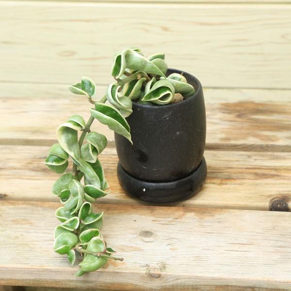 """RoomClip商品情報 - 多肉植物:ホヤ・カルノーサ """"コンパクタ""""*バリエガータ・わゆら陶器鉢"""