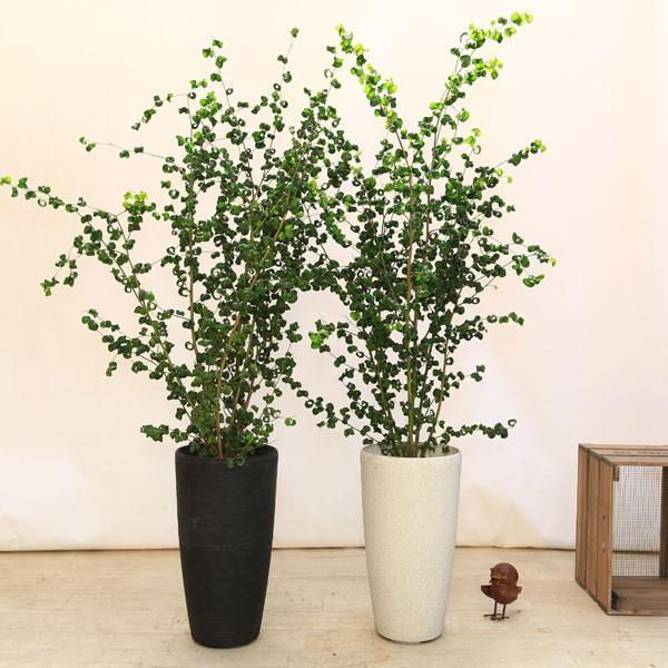 おしゃれ 観葉植物:バロック フィカスベンジャミン(ベンジャミナ)*コルチナ