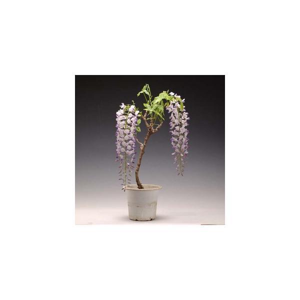 苗:一才藤(大)*葉姿でお届け y-bonsai