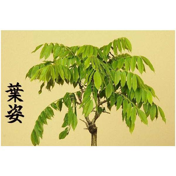 苗:一才藤(大)*葉姿でお届け y-bonsai 03