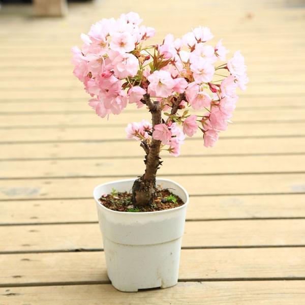 桜 苗 盆栽素材:一才桜(さくら)プラポット* ぼんさい ボンサイ|y-bonsai