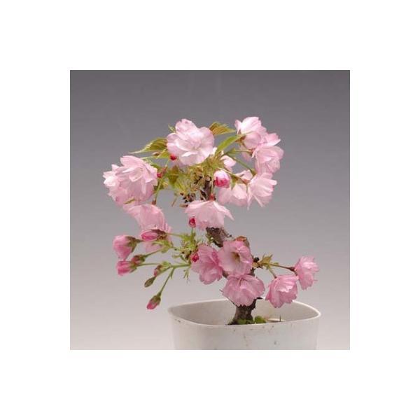 桜 苗 盆栽素材:一才桜(さくら)プラポット* ぼんさい ボンサイ|y-bonsai|02