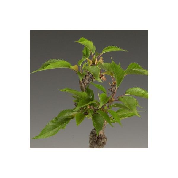 桜 苗 盆栽素材:一才桜(さくら)プラポット* ぼんさい ボンサイ|y-bonsai|03