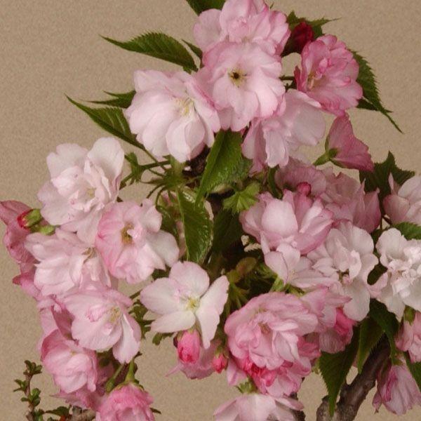 桜 苗 盆栽素材:一才桜(さくら)プラポット* ぼんさい ボンサイ|y-bonsai|05