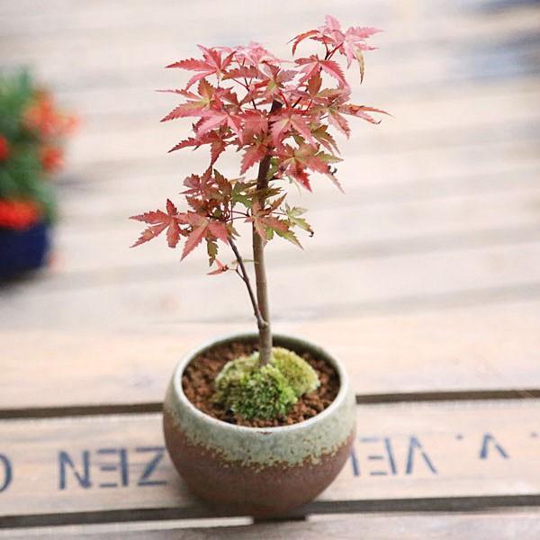 小品盆栽:出猩々もみじ*(信楽焼鉢 瀬戸焼鉢)鉢が選べる  鉢植え  紅葉狩り プレゼントにも|y-bonsai|02