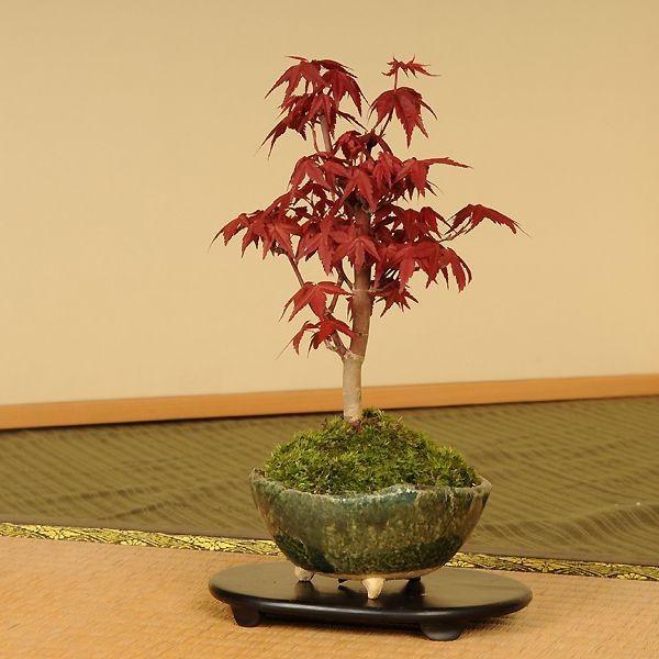 小品盆栽:出猩々もみじ*(信楽焼鉢 瀬戸焼鉢)鉢が選べる  鉢植え  紅葉狩り プレゼントにも|y-bonsai|03