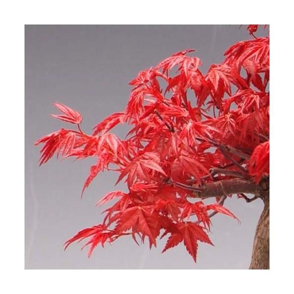 小品盆栽:出猩々もみじ*(信楽焼鉢 瀬戸焼鉢)鉢が選べる  鉢植え  紅葉狩り プレゼントにも|y-bonsai|04