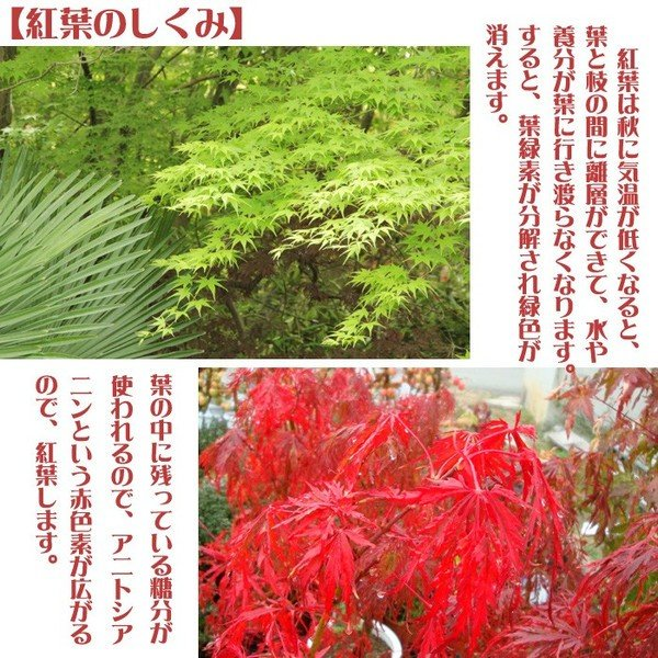 小品盆栽:出猩々もみじ*(信楽焼鉢 瀬戸焼鉢)鉢が選べる  鉢植え  紅葉狩り プレゼントにも|y-bonsai|05