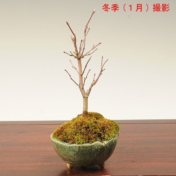 小品盆栽:出猩々もみじ*(信楽焼鉢 瀬戸焼鉢)鉢が選べる  鉢植え  紅葉狩り プレゼントにも|y-bonsai|06