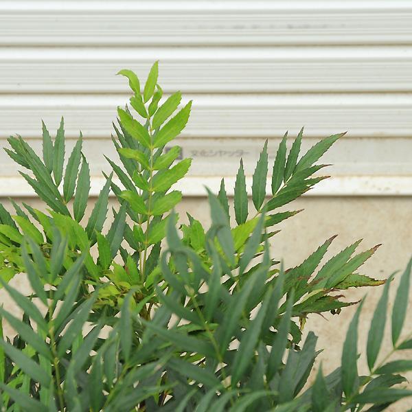 庭木:マホニアコンフューサ(細葉ヒイラギナンテン)|y-bonsai|02