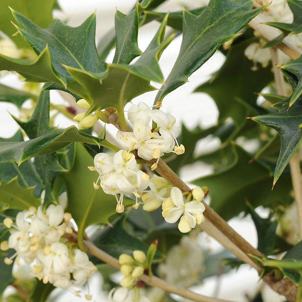 庭木:オニヒイラギ(ひいらぎ) |y-bonsai|02